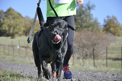 Dog in a race (canicross) Royalty Free Stock Photography