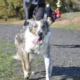 Dog in a race (canicross). Dog and its owner taking part in a popular canicross race Royalty Free Stock Photos