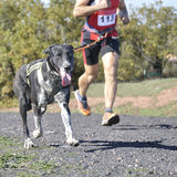 Dog in a race (canicross) Royalty Free Stock Image
