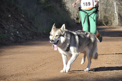 Dog in a race (canicross). Dog and its owner taking part in a popular canicross race Stock Photos