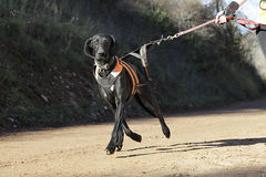 Dog in a race (canicross) Royalty Free Stock Photo