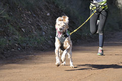 Dog in a race (canicross) Royalty Free Stock Photos