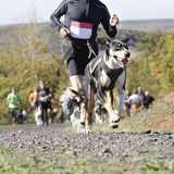 Dog in a race (canicross). Dog and its owner taking part in a popular canicross race, in the background (out of focus) several athletes Stock Photos