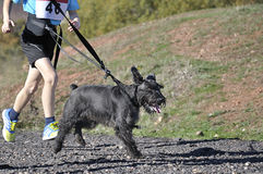 Dog in a race (canicross) Royalty Free Stock Images