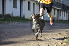 Dog in a race (canicross). Little dog and its owner taking part in a popular canicross race Stock Photo