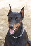 Dog of race doberman Stock Photo