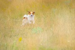 Dog Race. Fast, pets. The little dog runs through the meadow.  Stock Images