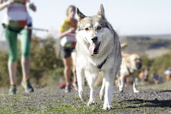 Dog in a race Stock Photography