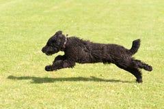 Dog Race Stock Image