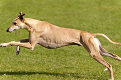 Dog Race Royalty Free Stock Photos