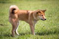 A dog of race shiba inu of color of the fox standing in the middle of the grass Stock Photography