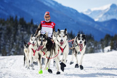 Dog race on snow Stock Photo