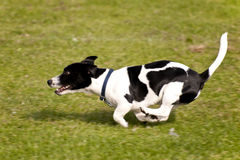 Dog Race Stock Images