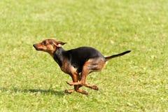 Dog Race Stock Photos