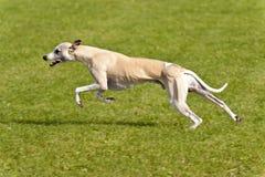 Dog Race Royalty Free Stock Photo