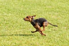 Dog Race Royalty Free Stock Photography