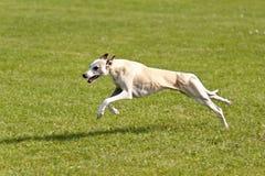 Dog Race Royalty Free Stock Photos