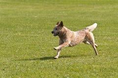 Dog Race Stock Photo