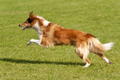 Dog Race. On a Sports Field Royalty Free Stock Image