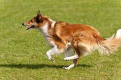 Dog Race Royalty Free Stock Image