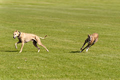 Dog Race Royalty Free Stock Images