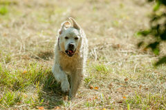Dog racing across the field Royalty Free Stock Photography