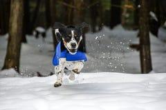 Dog racing through the snow royalty free stock photo
