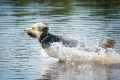 A dog that is playing in water. A dog is racing through the water like a speed boat stock images