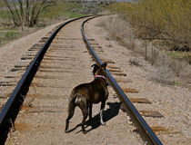 Dog on railroad tracks. Dog standing in the middle of a railroad track Royalty Free Stock Photography