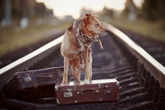 Dog on rails with suitcases. Stock Image