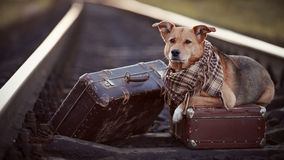Dog on rails with suitcases. Stock Photos