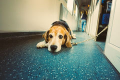 Dog In Railway Carriage Royalty Free Stock Photos