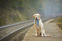 Dog on the railway platform. Dog is waiting for the owner on the railway platform Royalty Free Stock Image