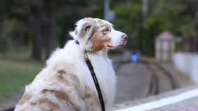 Dog at the railway station. Portrait, waiting for the train stock video footage