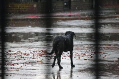 Dog in the rain. An autumn day with dry leaves of purple royalty free stock image