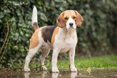 Dog in the Rain. Beagle Dog in the Rain stock photos