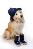 Dog with rain boots and hat. Border Collie ready for a walk in the rain stock photos