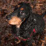 Dog in the rain. Dog is not happy when he's sitting in the rain stock image