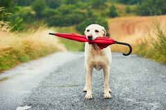 Dog in rain. Obedient dog in rainy day. Adorable labrador retriever is holding red umbrella in mouth and waiting for his owner in rain stock photography