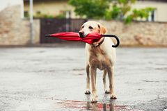 Dog in rain. Obedient dog in rainy day. Adorable labrador retriever is holding red umbrella in mouth and waiting for his owner in rain royalty free stock photos