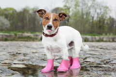 Dog in the rain. Dog wearing pink rubber boots inside a puddle sticking out the tongue stock photography