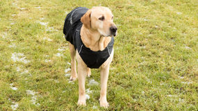 Dog in the raincoat stock images
