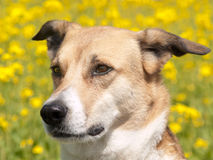 Dog and rape field, front view (67). Close-up Royalty Free Stock Photos