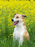 Dog and rape field (45) Stock Photo