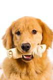 Dog with a rawhide bone. A handsome pure bred Golden Retriever Dog holding a rawhide chew bone in his mouth Royalty Free Stock Photo
