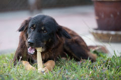 Dog with Rawhide bone in its mouth. On the grass stock photos