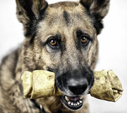 Dog with Rawhide Treat. My dog, Iggi, with his favorite rawhide treat Stock Image
