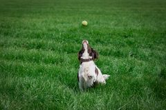 Dog reaches for tennis ball to catch stock photo
