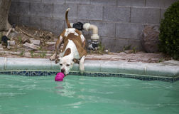 Dog reaching over side of pool for a toy Royalty Free Stock Photos