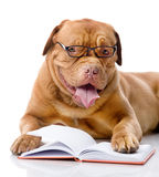 Dog read book. isolated royalty free stock images
